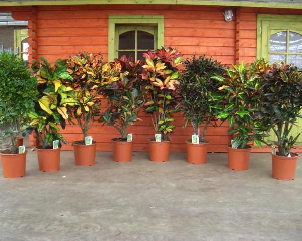 Кротон цветы уход в домашних условиях