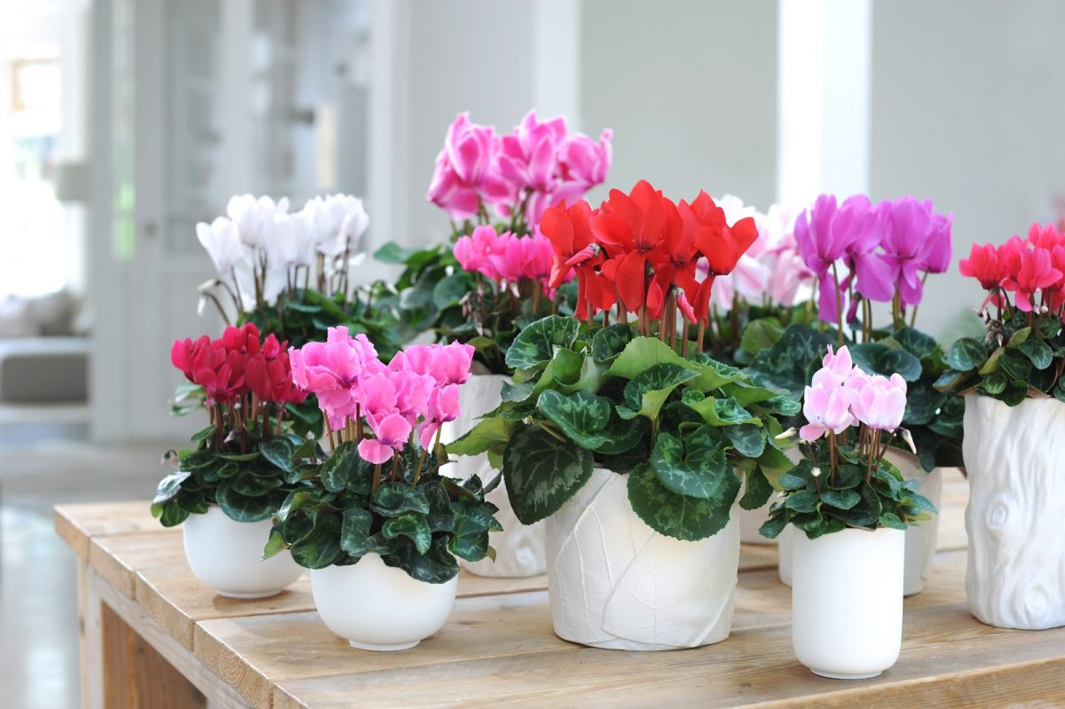 Комнатные цветы которые цветут картинки